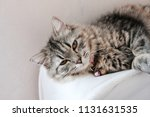 a persian cat laying down on... | Shutterstock . vector #1131631535