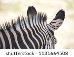 the mane of a zebra. texture of ... | Shutterstock . vector #1131664508