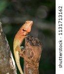 orange lizard sitting on a tree ... | Shutterstock . vector #1131713162