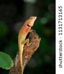 orange lizard sitting on a tree ... | Shutterstock . vector #1131713165