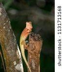 orange lizard sitting on a tree ... | Shutterstock . vector #1131713168