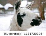 portrait of llama. close up... | Shutterstock . vector #1131720305