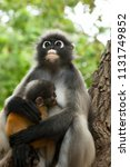 dusky leaf monkey mother and... | Shutterstock . vector #1131749852