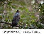 mangrove black hawk ...   Shutterstock . vector #1131764012