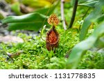 insectivorous plant ... | Shutterstock . vector #1131778835