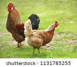 Rooster And Chickens. Free...