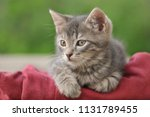 Stock photo beautiful gray tabby kitten 1131789455