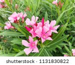 closeup pink oleander or nerium ... | Shutterstock . vector #1131830822