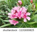 closeup pink oleander or nerium ... | Shutterstock . vector #1131830825