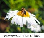 honey bee carries pollen | Shutterstock . vector #1131834002