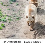 big brown bear or ursus arctos... | Shutterstock . vector #1131843098