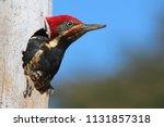 Male Lineated Woodpecker Insid...