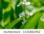 white flowers blooming in... | Shutterstock . vector #1131861962