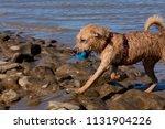 young wet light brown mongrel... | Shutterstock . vector #1131904226