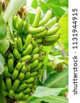 banana tree and fruit. the... | Shutterstock . vector #1131944915