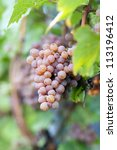 Pink bunch of grape in the vineyard at harvest time - stock photo
