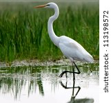 Great Egret In Shallow Water O...