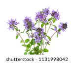 blooming sprigs of  wild thyme  ... | Shutterstock . vector #1131998042