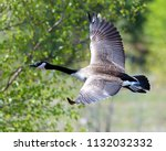 Canadian Geese In Flight  With...