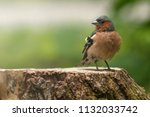 confident chaffinch stands on... | Shutterstock . vector #1132033742