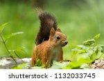 squirrel in light sunny summer... | Shutterstock . vector #1132033745