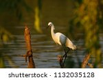 Snowy Egret By Pool In The...