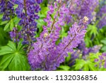 purple flower lupine macro ... | Shutterstock . vector #1132036856
