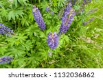 purple flower lupine macro ... | Shutterstock . vector #1132036862