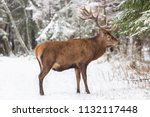 single adult noble deer with... | Shutterstock . vector #1132117448