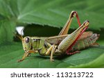 Grasshopper Perching On Green...