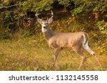 Whitetail Deer Montana