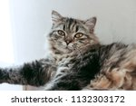 a persian cat laying down on... | Shutterstock . vector #1132303172