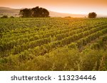 Vineyards At Sunset In A...