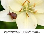 closeup on a garden snail on... | Shutterstock . vector #1132449062