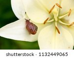 closeup on a garden snail on... | Shutterstock . vector #1132449065