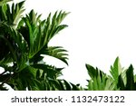 Breadfruit plant leaves with...