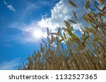 golden wheat field and sunny day | Shutterstock . vector #1132527365