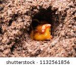 Small photo of chrysalis of Japanese Rhino beetle
