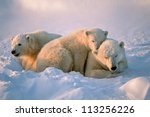 polar bear with her cubs | Shutterstock . vector #113256226