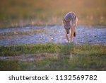 black backed jackal  canis... | Shutterstock . vector #1132569782