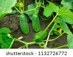 Fruits Of Green Cucumbers...