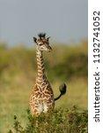 baby giraffe with green grass... | Shutterstock . vector #1132741052