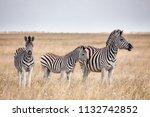 zebras migration   ... | Shutterstock . vector #1132742852