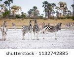 zebras migration   ... | Shutterstock . vector #1132742885