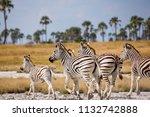 zebras migration   ... | Shutterstock . vector #1132742888