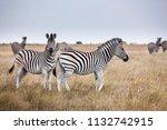 zebras migration   ... | Shutterstock . vector #1132742915