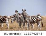zebras migration   ... | Shutterstock . vector #1132742945