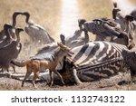vultures and jackal eating dead ... | Shutterstock . vector #1132743122