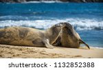two hawaiian monk seals... | Shutterstock . vector #1132852388