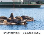 california sea lions hauled out ... | Shutterstock . vector #1132864652